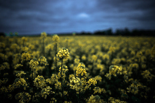 flowers blue summer sky france slr art colors field yellow clouds digital canon project landscape photography eos colorful europe flickr view image vibrant perspective picture dramatic shutter expressive imagination 365 dslr normandy project365 365days 365project 5dmarkiii youperspective