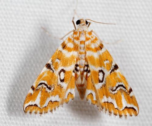 insect nc moth july northcarolina lepidoptera fieldtrip coastalplain eol bmna crambidae canonmpe65mmf2815xmacrophoto acentropinae medocmountain elophila elophilaicciusalis pondsidepyralid medoc20130710 taxonomy:binomial=elophilaicciusalis