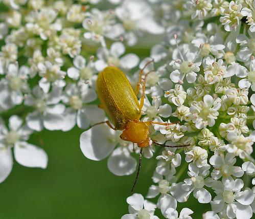 Sulphur Beetle Cteniopus sulphureus Pegwell Garden by Kinzler Pegwell