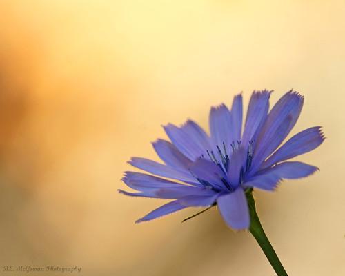light sunset flower warm purple