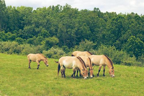 Przewalski's Wild Horses.