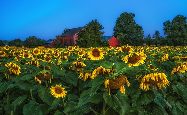 Sunflower field just after sunrise