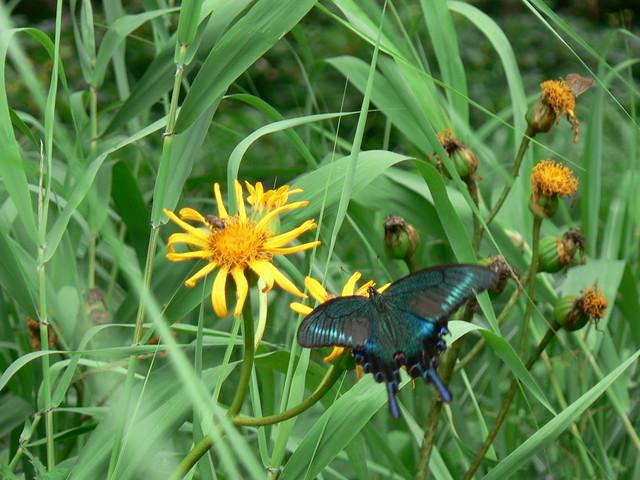 ハンカイソウの蜜を吸う,ミヤマカラスアゲハ. 羽の色が美しい.