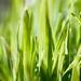 Small photo of Wheatgrass