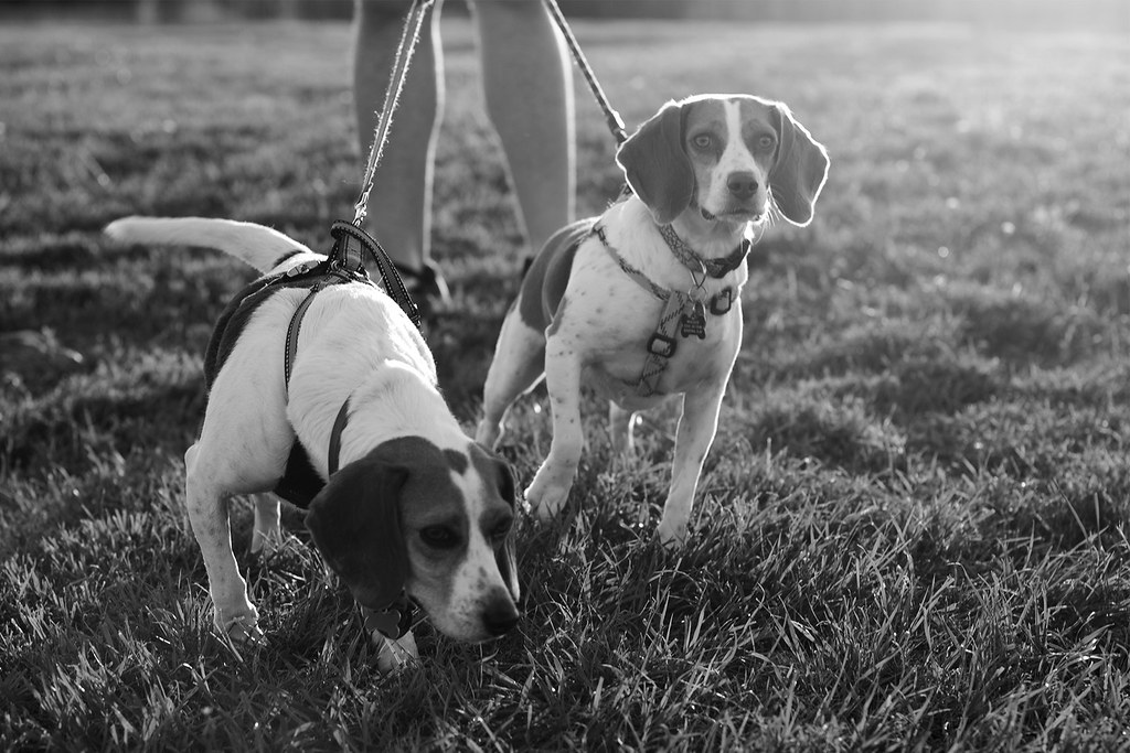 Beagles B&W Project, 2