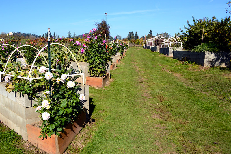 Dahlia Cutting Garden