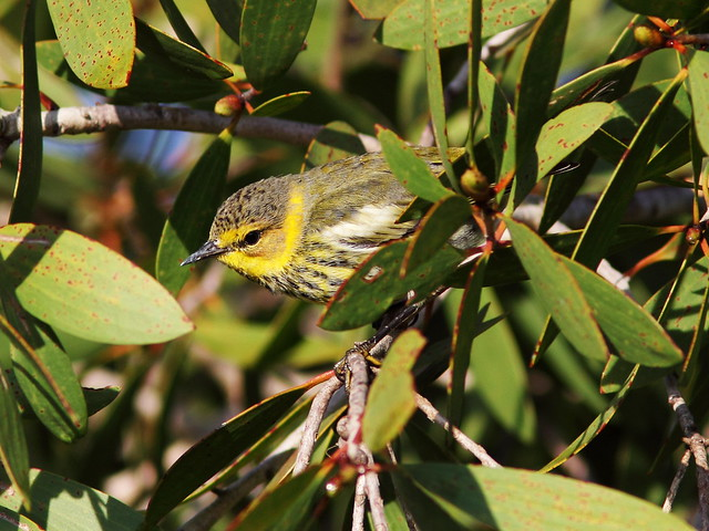 Cape May Warbler 6-20131023
