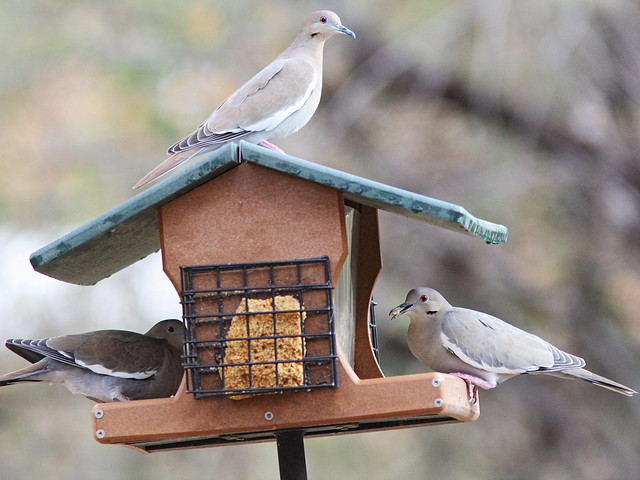 White-winged Doves 20131105