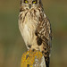 Short-eared Owl Asio flammeus by Iain Leach