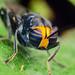 Cyphomyia sp. by Techuser