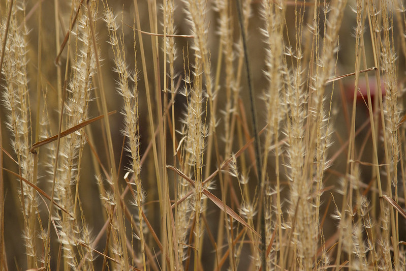 miscanthus purparascens