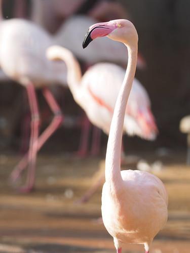 多摩動物公園 オオフラミンゴ
