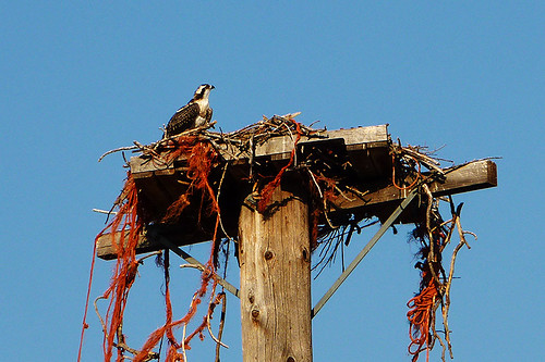 Osprey Nest near Monck Park, Nicola Valley, Thompson Okanagan, British Columbia