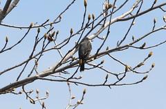 Eastern Kingbird, Delaware
