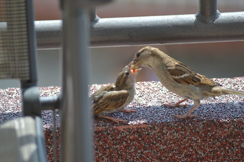 baby cub feeding mother sparrow greenhorn vrabac žutokljunac zutokljunac