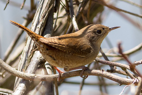 philadelphia birds us pennsylvania content places wren folder takenby 2014 housewren johnheinznwr peterscamera petersphotos canon7d 20140505johnheinznwrbirds