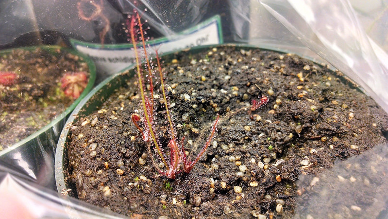 Drosera filiformis from leaf cuttings.
