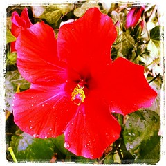annual plant, flower, red, malvales, flora, chinese hibiscus, petal,