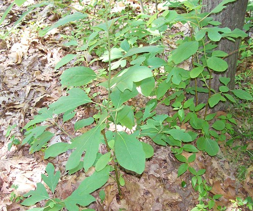 young sassafras trees
