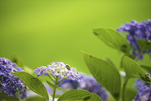 紫陽花と雨蛙(hydrangea and tree frog)