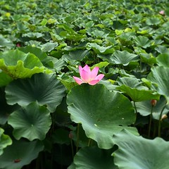 arum(0.0), annual plant(1.0), flower(1.0), garden(1.0), leaf(1.0), flora(1.0), sacred lotus(1.0), lotus(1.0), green(1.0), proteales(1.0), petal(1.0), aquatic plant(1.0),