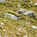 Small photo of Alpine Marmot