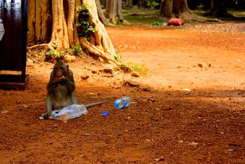 Monkey see, Monkey do, Monkey eat human leftovers.