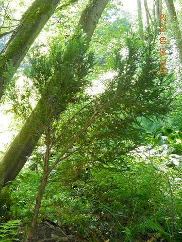 Yew (Taxus brevifolia)