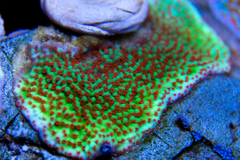 Just another SPS tank - Page 8 - Reef Central Online Community