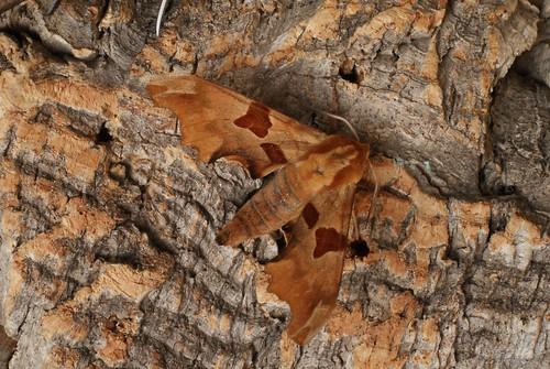 Lime Hawk-moth (Mimas tiliae) f. brunnea