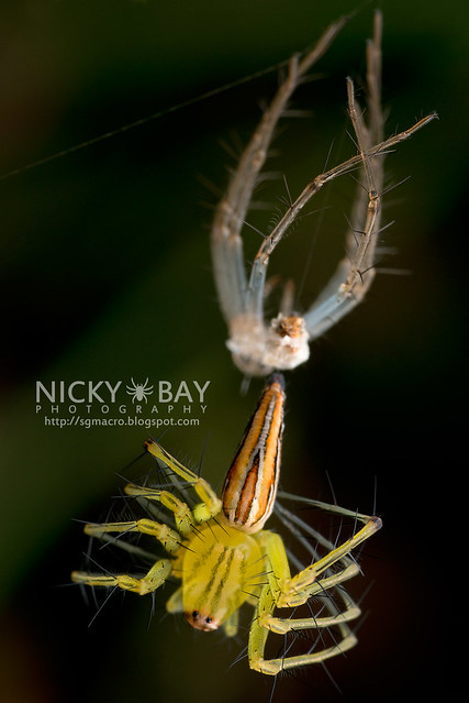 Lynx Spider (Oxyopidae) - DSC_9322