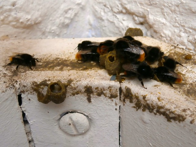 1 Red-tailed bumblebee, Bombus lapidarius, Worcestershire 07-13