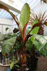 Musaceae