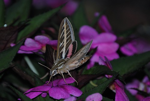 Hummingbird Moth by mikemac29