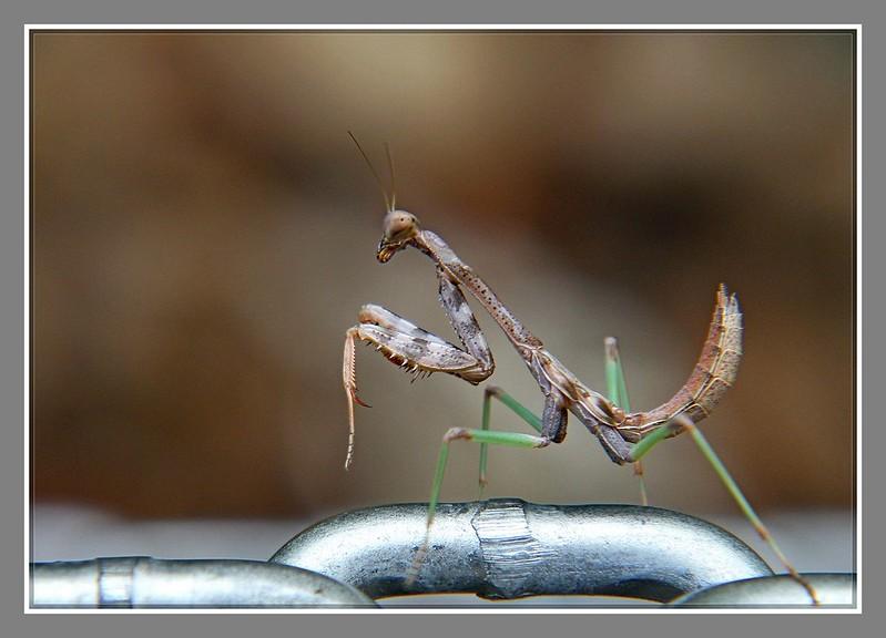 小螳螂_图1-11
