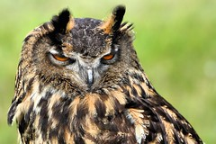 Eagle Owl - Knebworth Country Show 2013