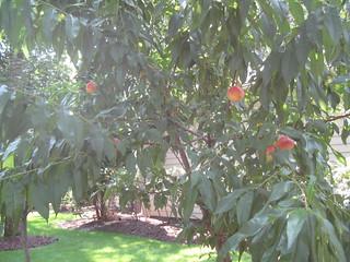 peach tree August 2013