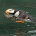 Horned Puffin by AnayTarnekar