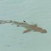Small photo of Baby Shark II