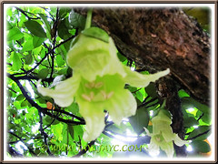 Exotic bell-shaped flowers of Crescentia cujete (Calabash Tree), 3 Oct 2013