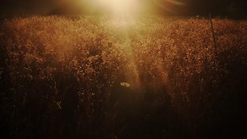 morning light plants sun plant color nature field grass sunrise landscape lumix gold clusters poland polska panasonic botanic g2 panasonicg2