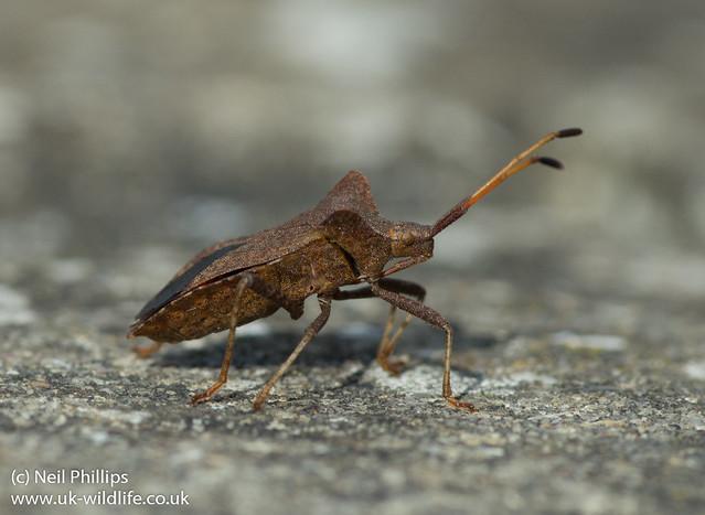 squash bug-3