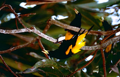 Yellow-rumped Caciques (Cacicus cela)