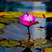 Water Lily (Explored) by Butch Osborne