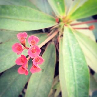 #red #cactus #flower from Uttara roadside
