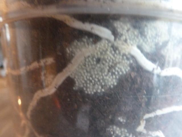 larven eier schimmel oder pilze orchideenforum. Black Bedroom Furniture Sets. Home Design Ideas