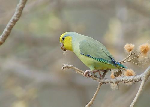 yellowfacedparrotlet forpusxanthops periquitodecaraamarilla