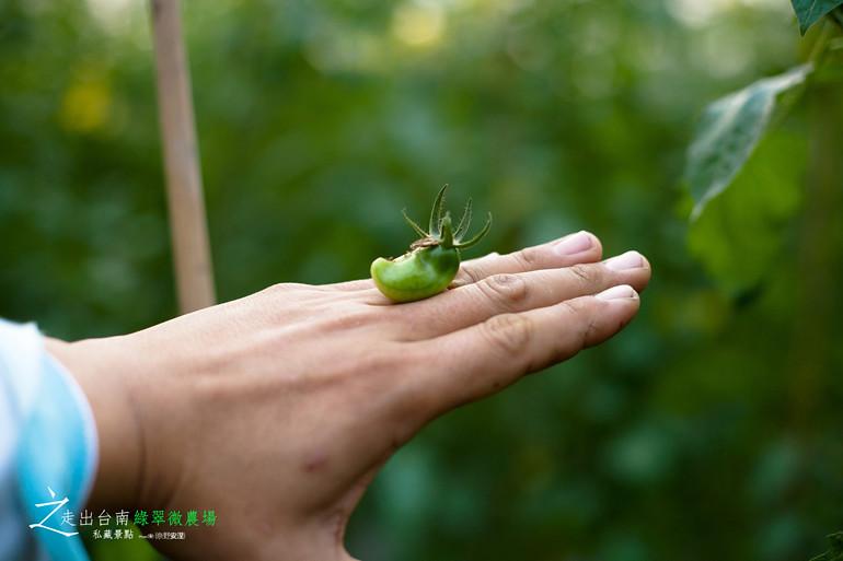 無毒小蕃茄 (12)