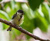Young Great Tit by Donna Apsey - http://donnaapsey.zenfolio.com/