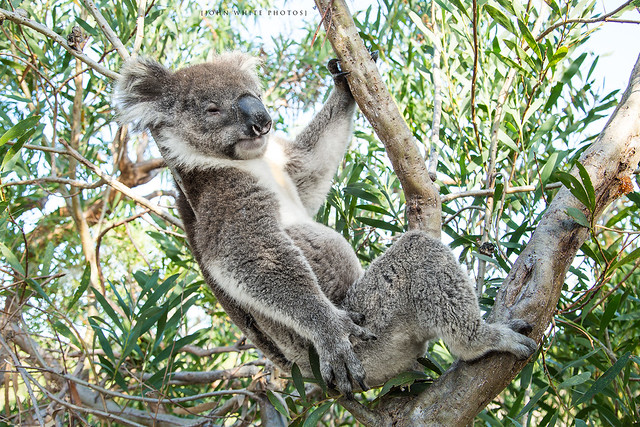 Mikkira Koala